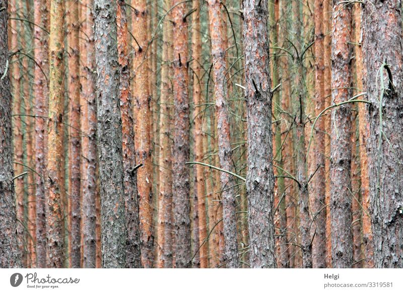many trunks of spruce trees stand side by side and behind each other Environment Nature Plant Tree Tree trunk Spruce Jawbone Twig Forest Old Stand Growth