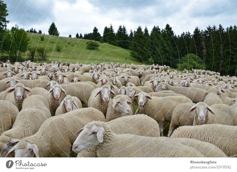 flock of sheep Food Meat Cheese Yoghurt Dairy Products Vacation & Travel Summer Summer vacation Mountain Hiking Environment Nature Landscape Plant Animal