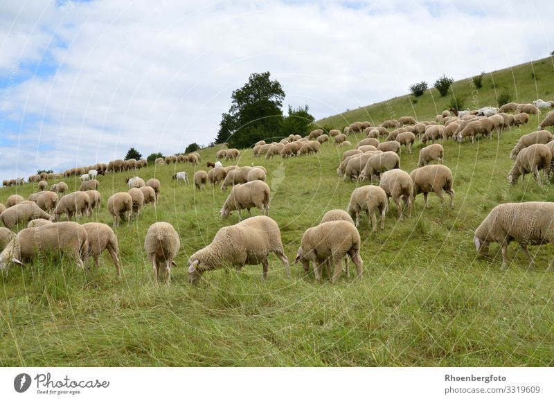 flock of sheep Summer Summer vacation Sun Mountain Hiking Agriculture Forestry Environment Nature Landscape Plant Animal Earth Climate Climate change Weather