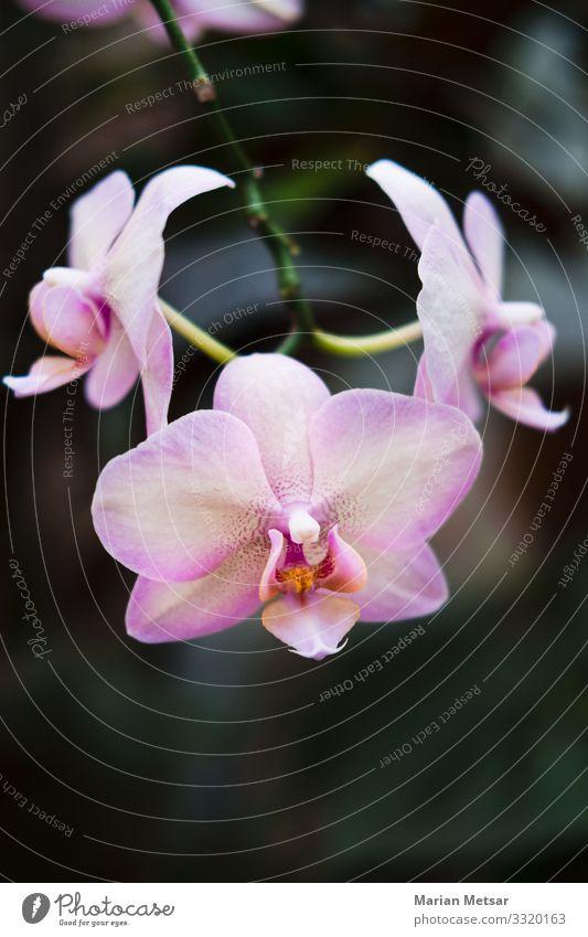 Pink orchid - Phalaenopsis Blume Nature Plant Orchid Leaf Blossom Foliage plant Wild plant Pot plant Exotic Garden Simple Elegant Beautiful Clean Feminine