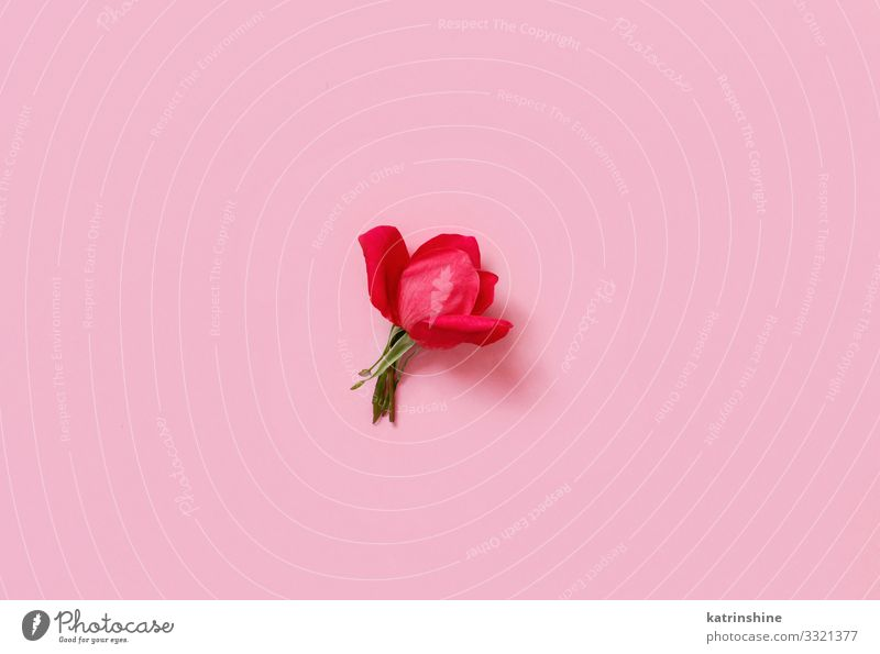 Red rose on a light pink background Design Decoration Wedding Woman Adults Mother Flower Rose Above Pink Creativity romantic pastel Fuchsia Magenta flat lay