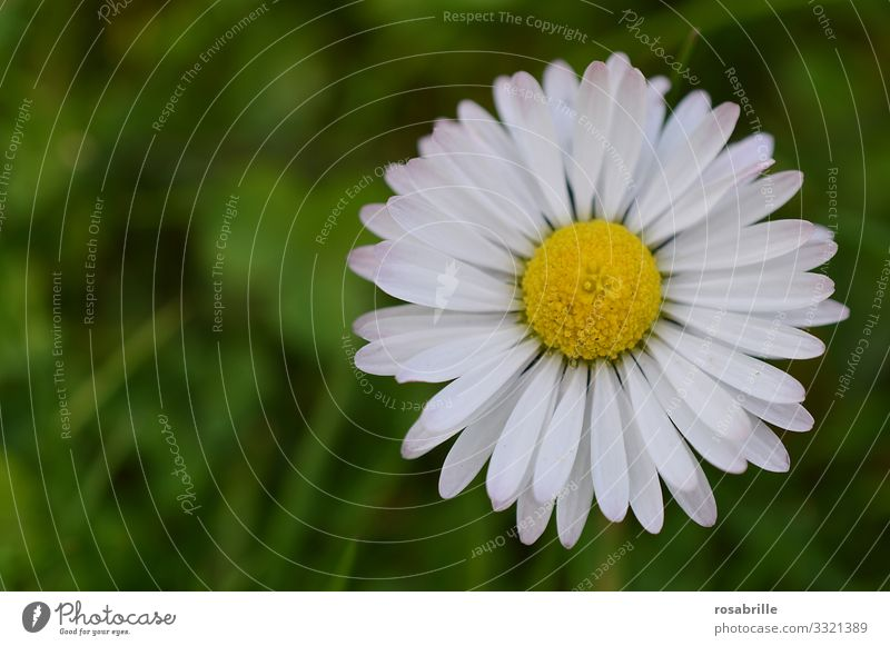 Daisies | Symmetry Daisy flowers Meadow little flowers daisy Blossom leave petals blossom Summer spring Spring fever out Nature natural already pretty cheerful