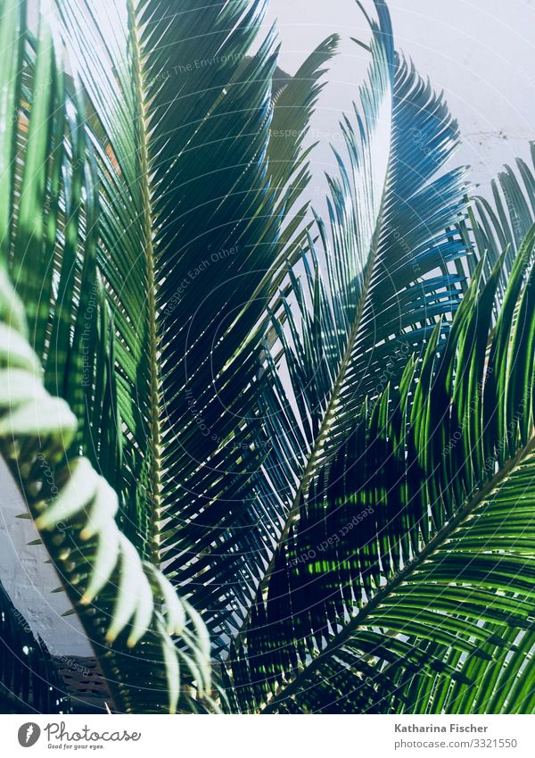 Palm Palm leaf Nature Animal Spring Summer Autumn Winter Climate Beautiful weather Plant Leaf Foliage plant Exotic Growth Large Green Palm tree Palm frond