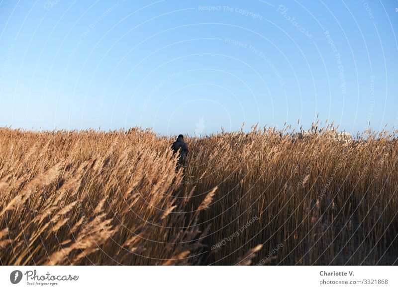 The lonely hiker makes his way through the endless sea of reed grass on this bright sunny day. Human being Masculine 1 Environment Nature Landscape Plant