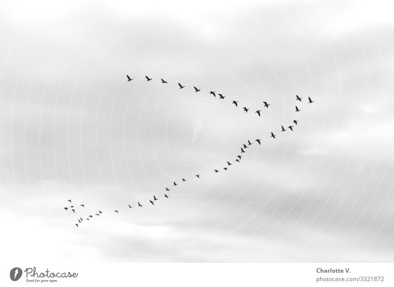The geese made their way south under an overcast sky. The group has not yet found their perfect V-formation on this black and white photo. Nature Animal Air Sky