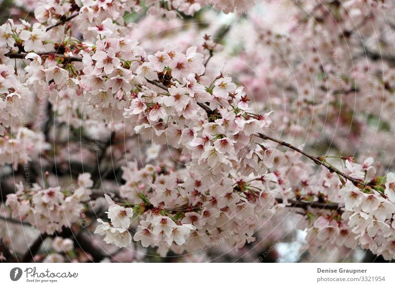 Cherry blossoms in Kyoto Japan Hanami Environment Nature Plant Climate Weather Park Vacation & Travel Pink Tradition cherry culture flower japanese Asia tree
