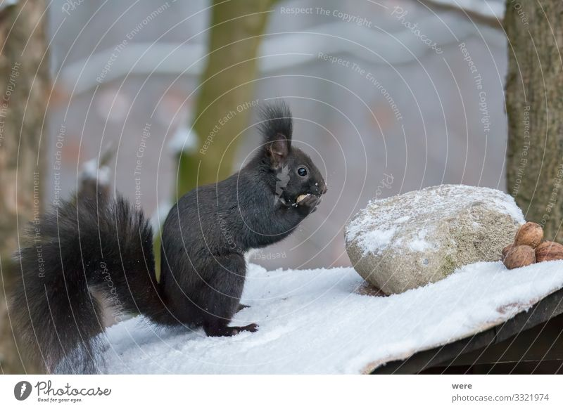 European brown squirrel in winter coatl looking for nuts Nature Animal Wild animal Squirrel 1 Soft branch branches copy space cuddly cuddly soft cute