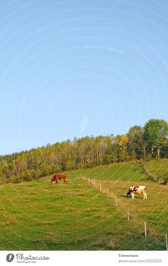 Cow separation Vacation & Travel Environment Nature Landscape Plant Animal Spring Summer Beautiful weather Meadow Forest Hill Black Forest 2 Natural Blue Green