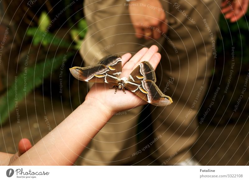 Atlas spinner Human being Feminine Child Infancy Life Arm Hand Fingers Animal Wild animal Butterfly Wing 1 Large Bright Brown Green Insect Colour photo