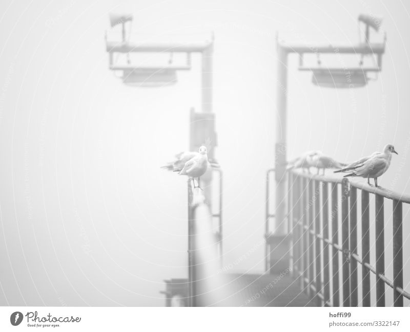 Seagulls in the fog Autumn Winter Weather Bad weather Fog Jetty Footbridge Lamp Handrail Harbour Sit Stand Wait Esthetic Cold Maritime Wet Gloomy Gray Silver