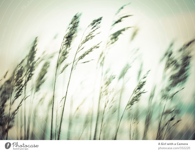 Rømø - good grass Environment Nature Plant Sky Spring Grass Field Attachment Blow Subdued colour Exterior shot Experimental Abstract Deserted Evening Twilight