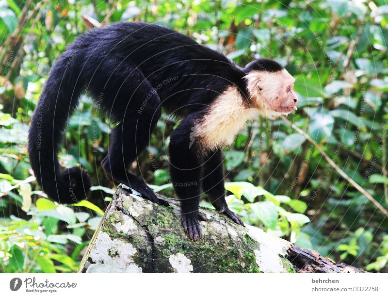 bääähhhhhh Costa Rica Virgin forest Vacation & Travel Nature Trip Adventure Tourism Freedom Far-off places Day Sunlight Animal Wild animal Monkeys Capuchins