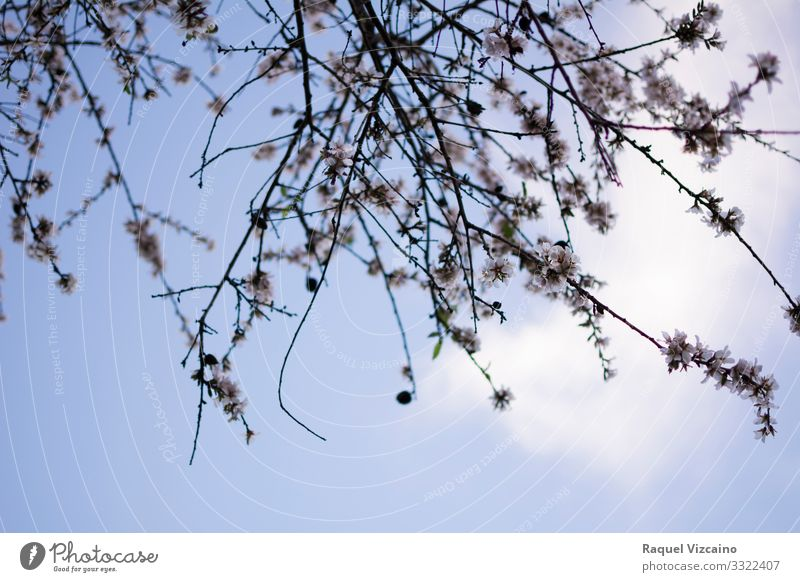 Branches of an almond tree Wellness Plant Sky Spring Tree Flower Forest Blue White branches Almond tree to flourish blooming Seasons Consistency cold Vertical