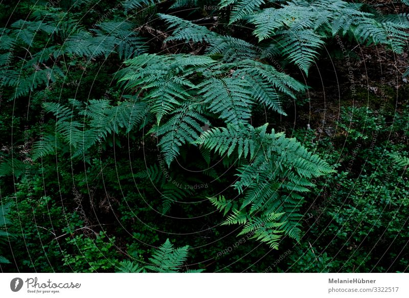 Fern in the forest Nature Landscape Plant Foliage plant Wild plant Esthetic Forest Sweden Light Shadow Colour photo Bird's-eye view
