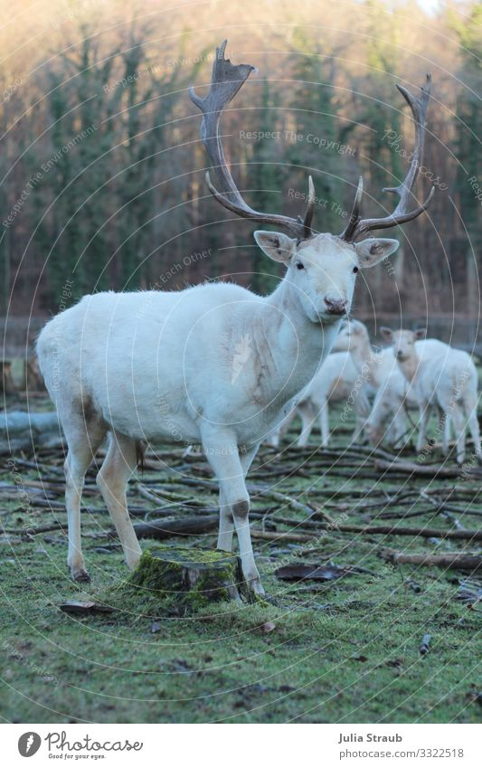 Albino Deer Forest Nature Winter Moss Park Animal Wild animal Roe deer Game park Herd Looking Stand Large Curiosity Brown Green White Uniqueness Freedom