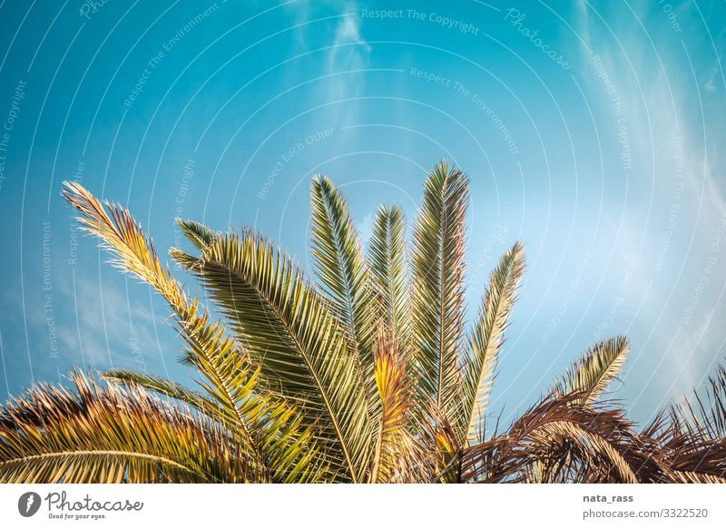 Palm tree crown growing in California on a coast of Santa Monica crown-like landscape tropical santa monica los angeles idyllic candid authentic copy space