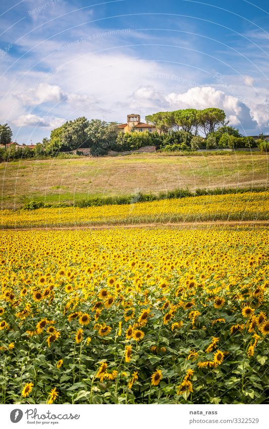 Tuscan hill with sunflowers in blossom and typical farmhouse cultivation tuscan mediterranean idyllic nobody toscana blooming retro vintage authentic gorgeous