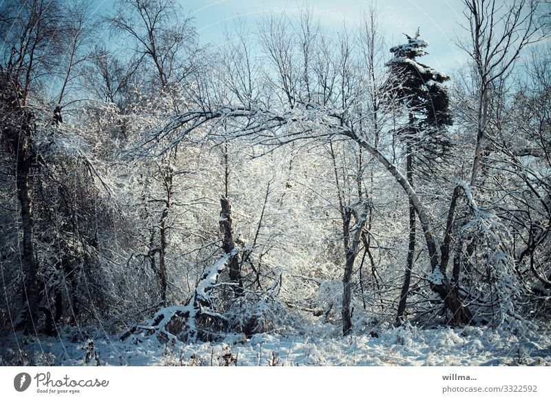Snowy trees in the winter forest Nature Landscape Winter Beautiful weather Tree Forest Wilderness Cold snowy Winter forest