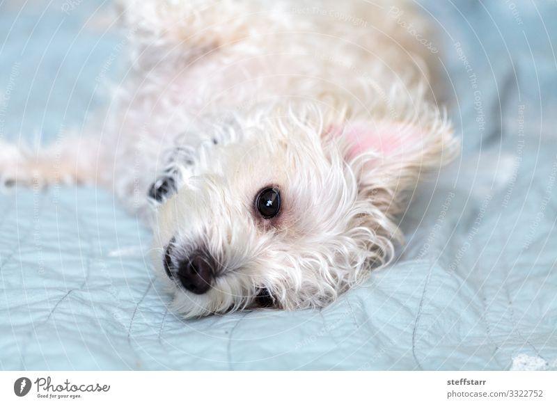 Napping white west highland terrier dog Calm Pet Dog 1 Animal Sleep Blue White Westie West Highland terrier sleepy shaggy dog scraggly dog Terrier big ears