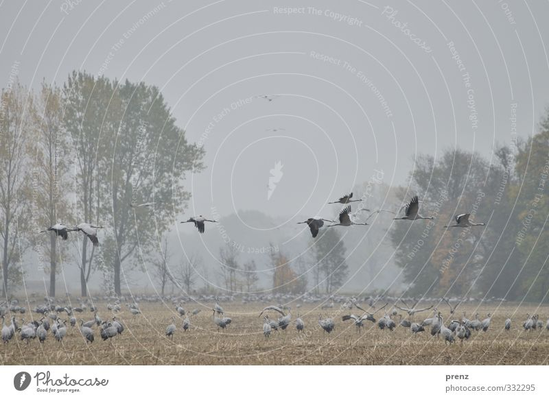 high achiever Environment Nature Landscape Animal Bad weather Field Bird Group of animals Flock Blue Gray Crane Floating Flying Autumn Stork village Linum