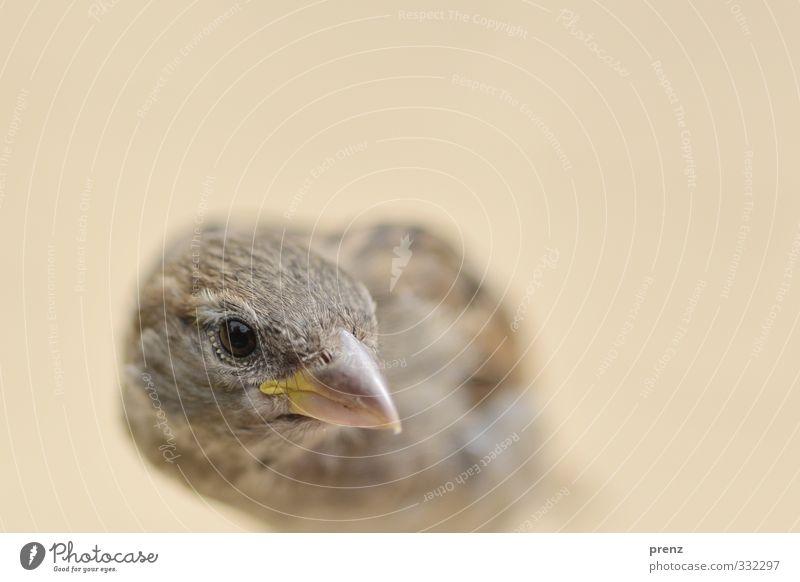 Nature Animal Environment Gray Brown Bird Wild animal Sparrow