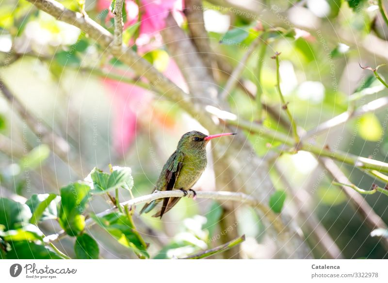A small green hummingbird sits on its hibiscus branch and keeps watch Nature flora fauna Animal Bird Plant Mallow plants Leaf Twig blossoms fragrances Summer
