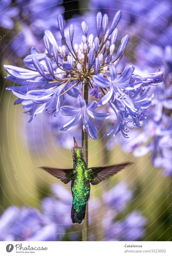 Picaflor Nature Plant Animal Summer Flower Blossom agapanthus Jewelry lilies amaryllidaceae Wild animal Bird Hummingbirds picaflor 1 Blossoming Fragrance Flying