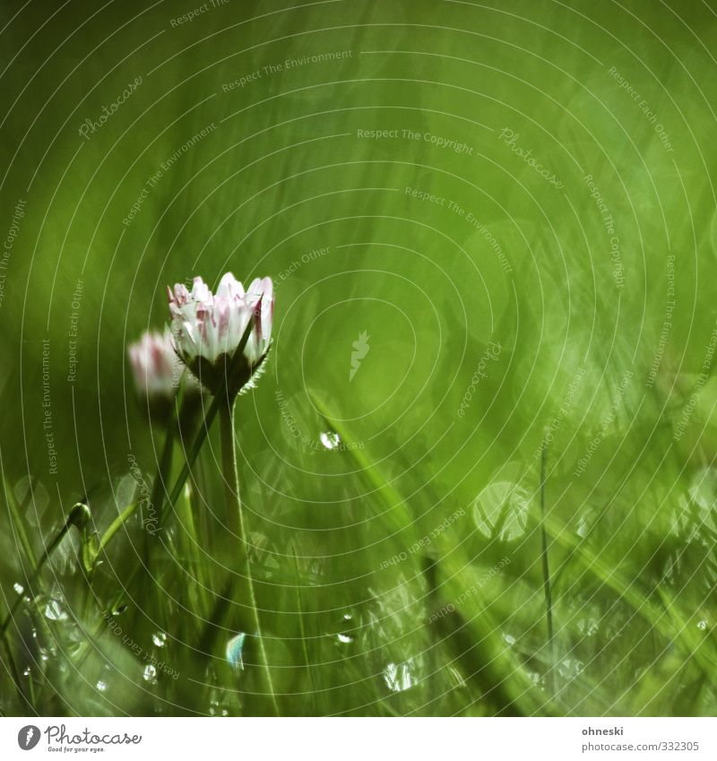 green Drops of water Spring Summer Flower Grass Blossom Daisy Dew Hope Inspiration Life Nature Colour photo Multicoloured Exterior shot Deserted