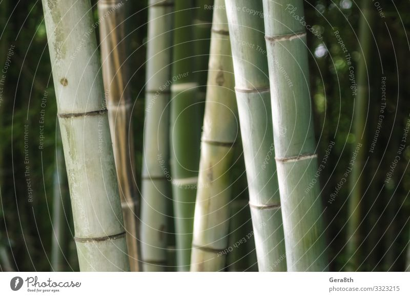 green bamboo grove pattern close up Garden Wallpaper Gardening Nature Plant Forest Virgin forest Fresh Bright Natural Juicy Green background Bamboo Botany