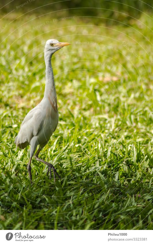 white egret along a forest Summer Family & Relations Nature Animal Leaf Meadow Bird Observe Growth Friendliness Long Natural Green White ardea intermedia