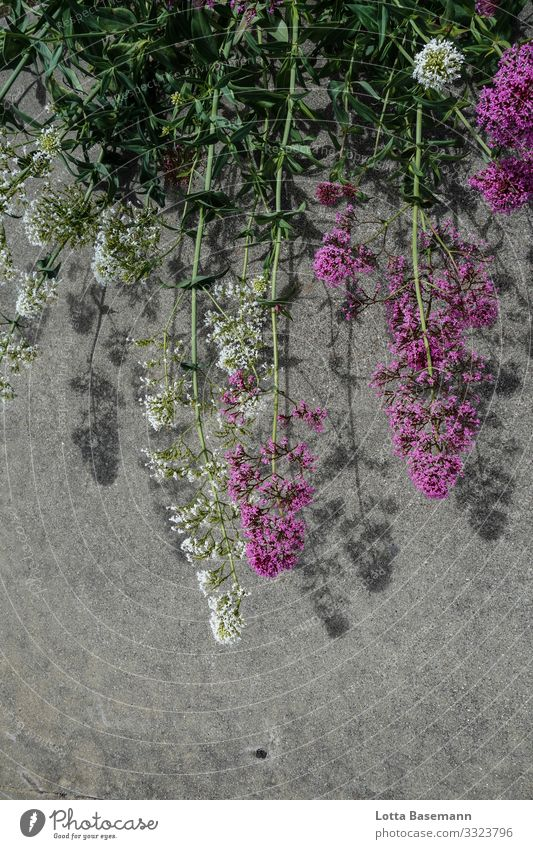 Flowers and asphalt Environment Nature Plant Summer Blossom Blade of grass Esthetic Natural Beautiful Green White Ecological Decoration Close-up Detail Day