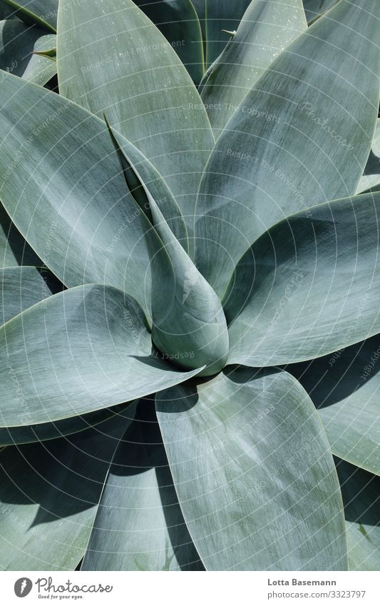 agave Environment Nature Landscape Plant Animal Cactus Leaf Agave Esthetic Exotic Beautiful Point Blue Gray Green Contentment Moody Middle Balance Natural
