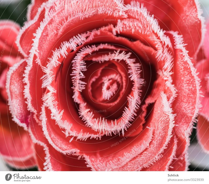 Cold love Nature Plant Flower Rose Crystal Red White Love Esthetic Beautiful Frost Hoar frost Crystal Needles Natural phenomenon Miracle of Nature Placed