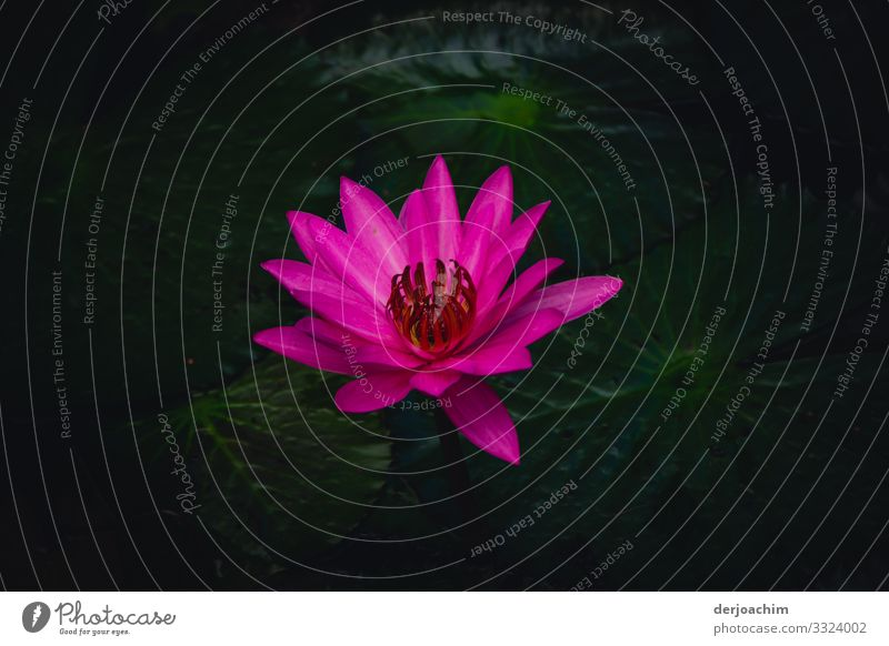 It blooms in quite great colors. A beautiful plant lying on a pond. The water is quite dark. Joy Harmonious Trip Nature Summer Beautiful weather Blossom Park