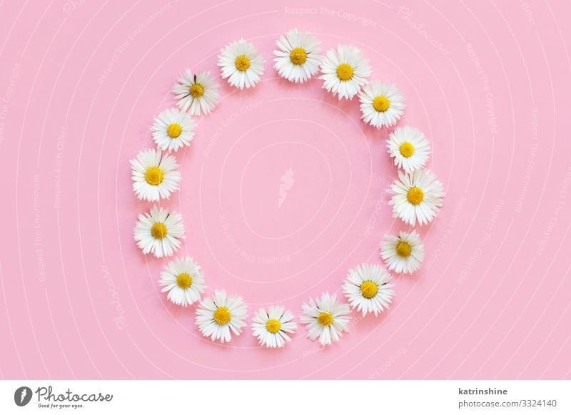 Frame made of white daisies on a light pink background Woman White Flower Adults Love Pink Above Design Decoration Creativity Wedding Mother Conceptual design
