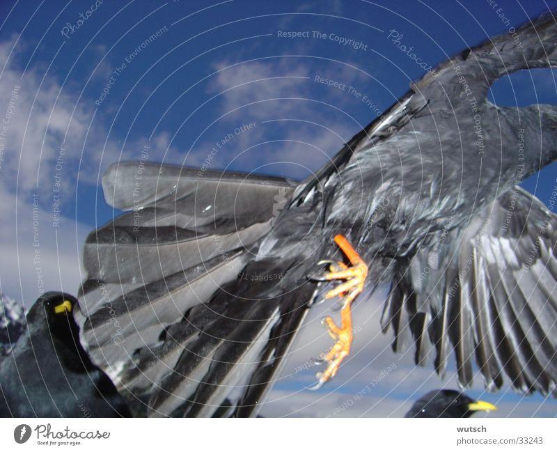 Bird Jackdaw