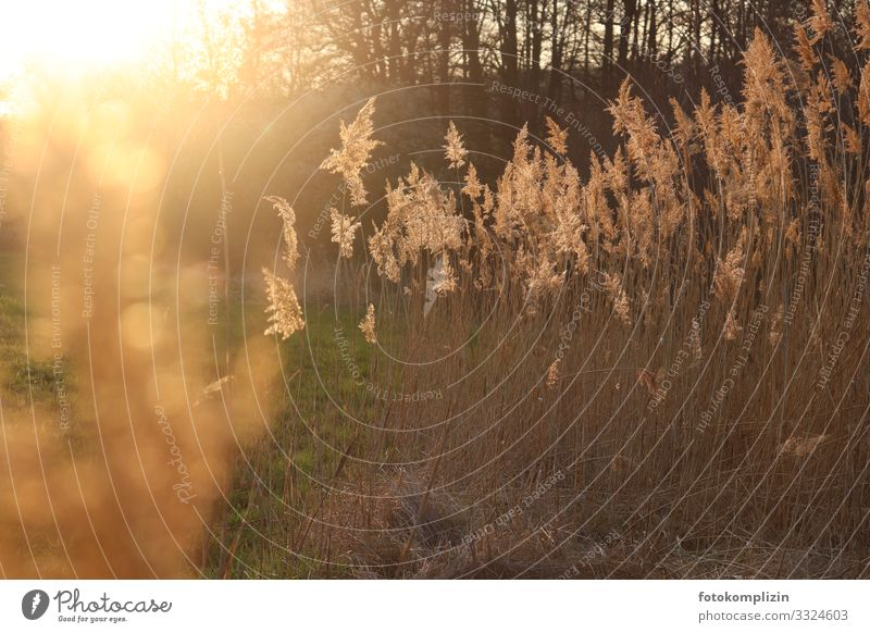 sunny grasses Environment Nature Sunlight Grass Meadow Glittering Illuminate Faded To dry up Growth Fragrance Warmth Gold Moody Romance Grief