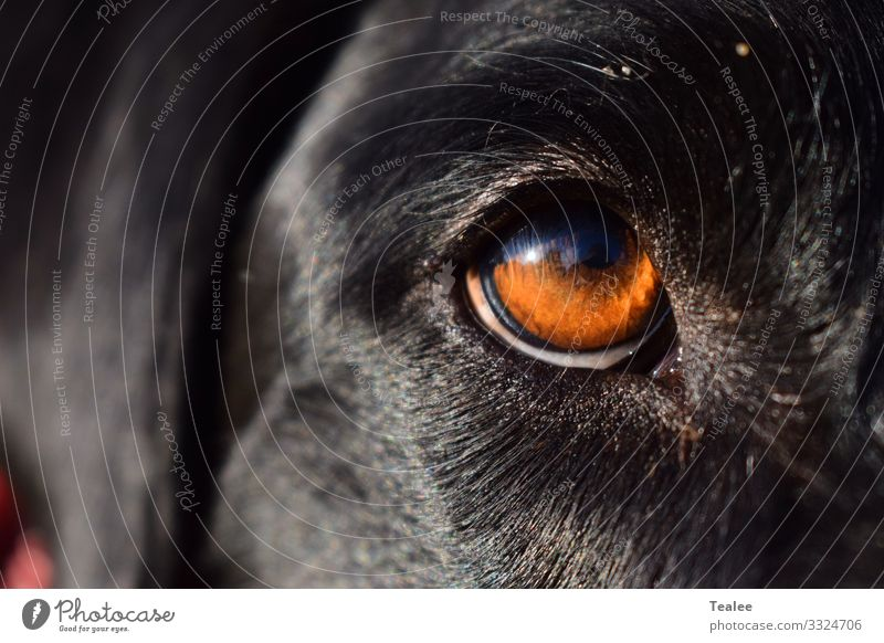 Eye of mans best friend Animal Pet Dog Animal face 1 Esthetic Authentic Famousness Dark Simple Free Friendliness Happiness Happy Large Bright Beautiful Near