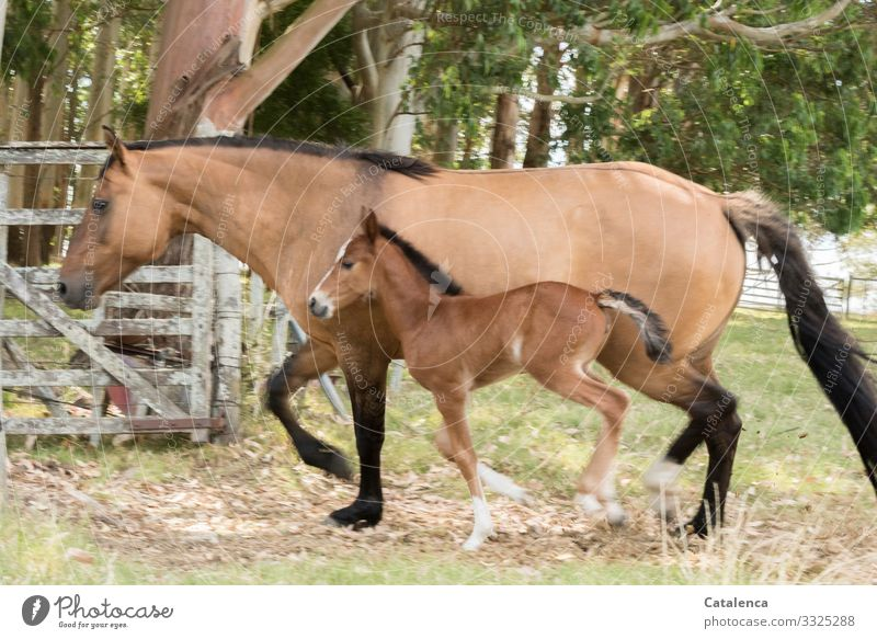 mother and daughter Summer Tree Grass Eucalyptus tree Meadow eucalyptus forest Farm animal Horse Foal Dun (horse) 2 Animal wooden gate Fold Going Beautiful