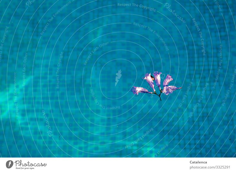 A purple Jacaranda flower floats on the turquoise water of the pool, you can see the mosaic tiles at the bottom swimming pools Swimming & Bathing Swimming pool