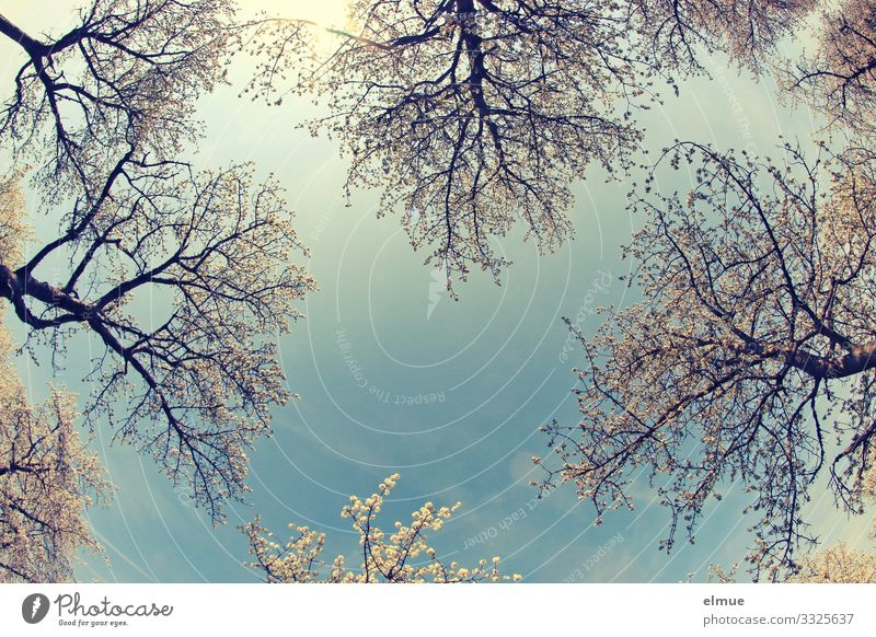 Skywards Vacation & Travel Environment Nature Cloudless sky Sun Spring Beautiful weather Tree Cherry tree Cherry blossom Blossoming Fragrance Bright Blue White