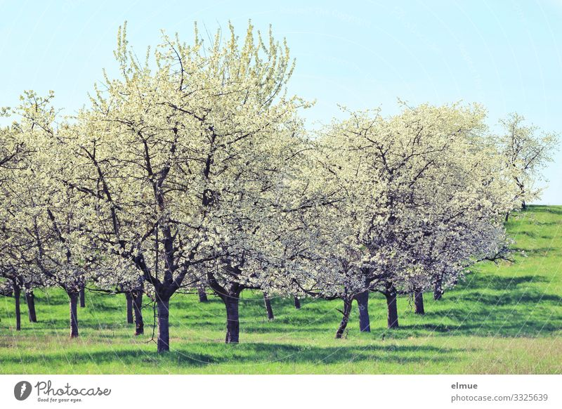 cherry blossom Nature Landscape Plant Cloudless sky Sun Spring Beautiful weather Tree Blossom Meadow Blossoming Blue Green White Happy Joie de vivre (Vitality)