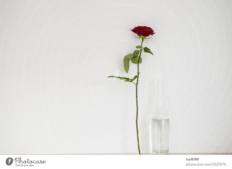 Rose by the water Plant Bottle Water Bottle of water Esthetic Elegant Happy Uniqueness Thin Red White Emotions Love Infatuation Romance Relationship Fragrance
