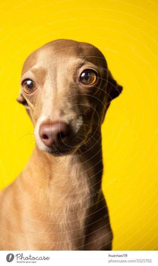 Portrait of italian grayhound dog in studio Happy Beautiful Friendship Animal Pet Dog 1 Friendliness Happiness Small Funny Cute Brown Yellow Protection Sympathy