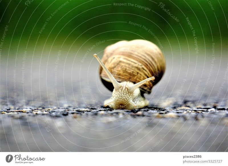 Front close up of european vineyard snail Summer Wild animal Snail 1 Animal Environment animals antenna Background picture brown crawling cute garden gastropod