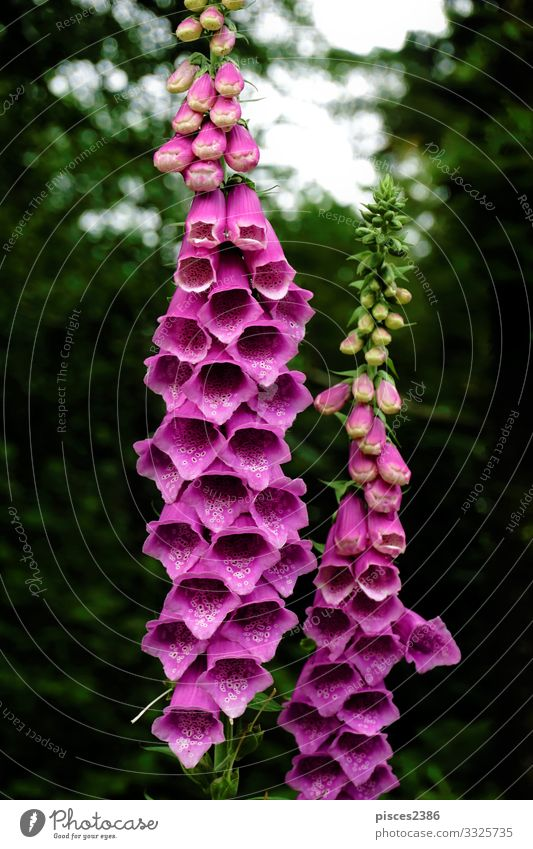Blossoms of purple digitalis purpurea in the forest Nature Plant Wild plant Pink Planning foxglove medicinal common poisonous green Plantain plants Bitter