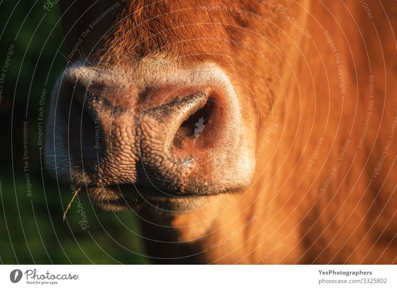 Cow snout close-up in sunlight. The nose of a reddish cow Face Landscape Beautiful weather Farm animal Animal face 1 Bright Funny Natural Cute animal nose