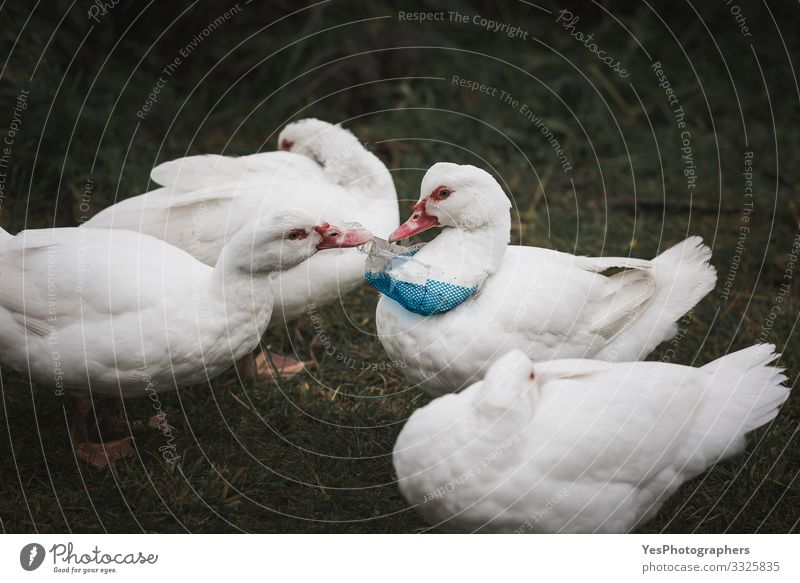 Plastic waste on bird neck. Ducks and plastic pollution Environment Bird 4 Animal Group of animals Environmental protection Consumption domestic bird duck dump