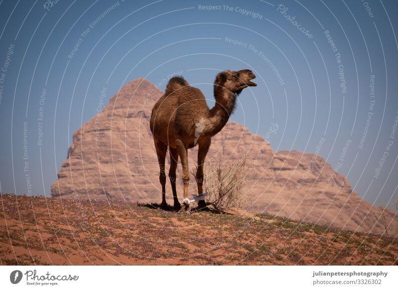 Camel riding in Wadi Rum desert, Jordan ride camel camels trekking wadi rum animal animals offroad transportation sand mountains horizon track dunes middle east