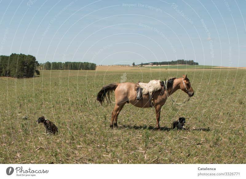 waiting Gaucho Agriculture Forestry Landscape Plant Animal Cloudless sky Horizon Summer Tree Grass Meadow Field Pampa Farm animal Dog Horse 3 Lie Stand